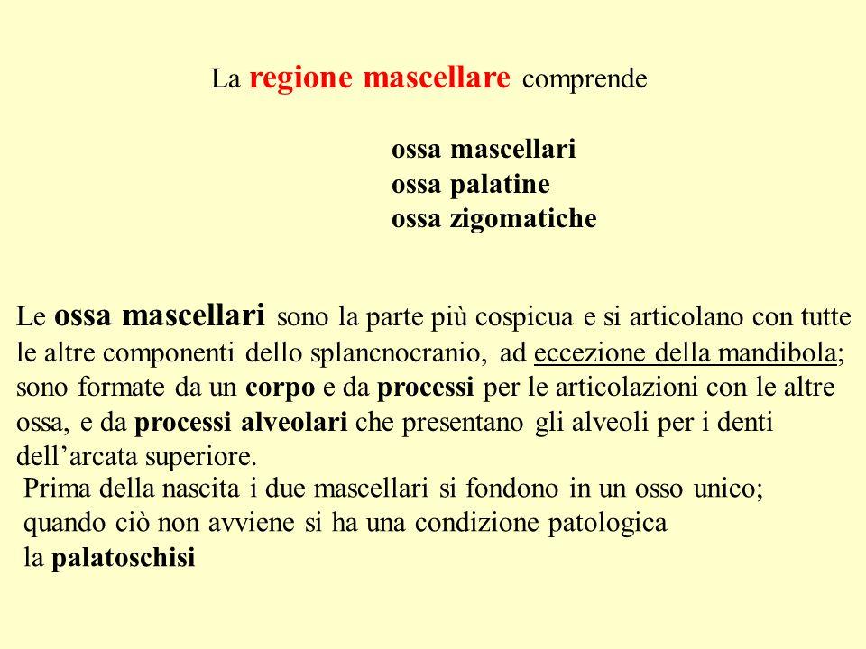 La regione mascellare comprende