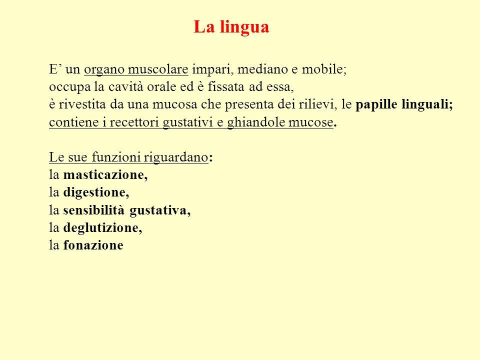La lingua E' un organo muscolare impari, mediano e mobile;