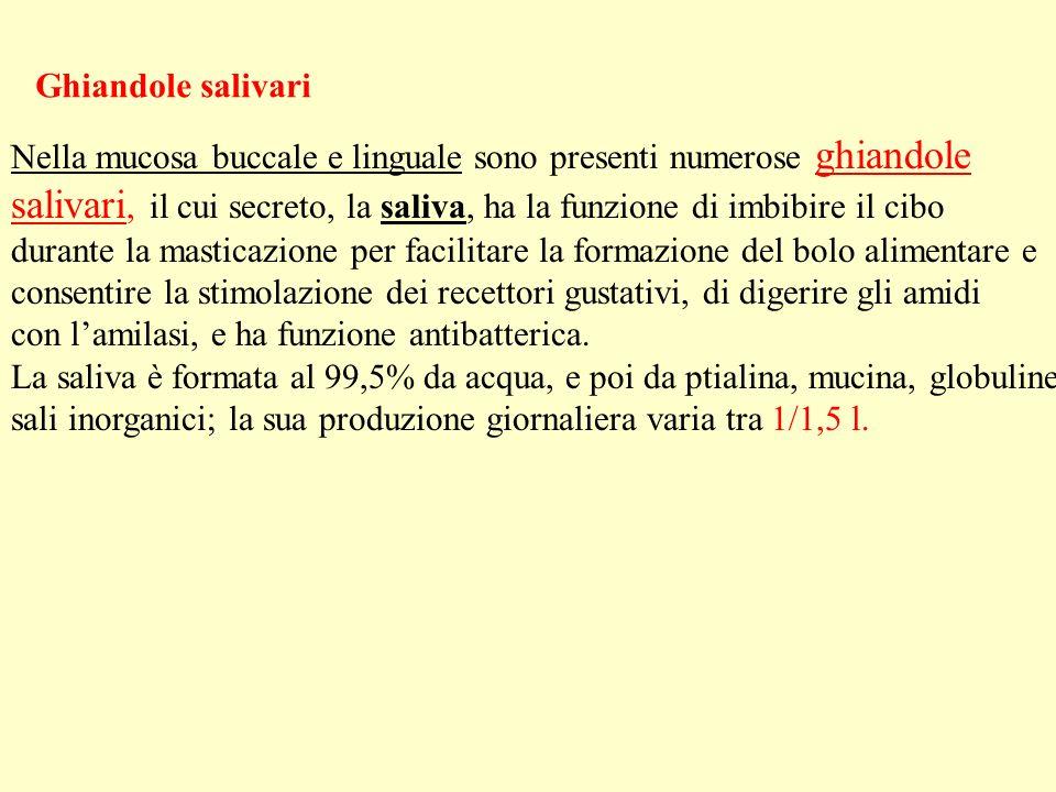Ghiandole salivariNella mucosa buccale e linguale sono presenti numerose ghiandole.