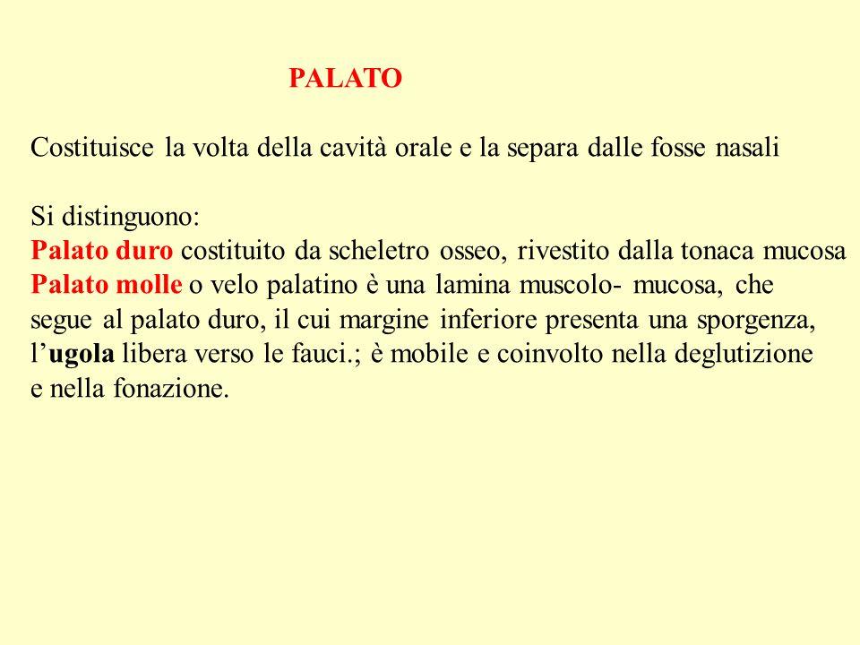 PALATO Costituisce la volta della cavità orale e la separa dalle fosse nasali. Si distinguono: