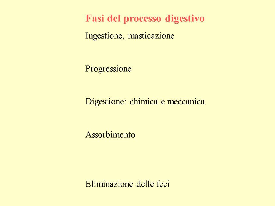 Fasi del processo digestivo