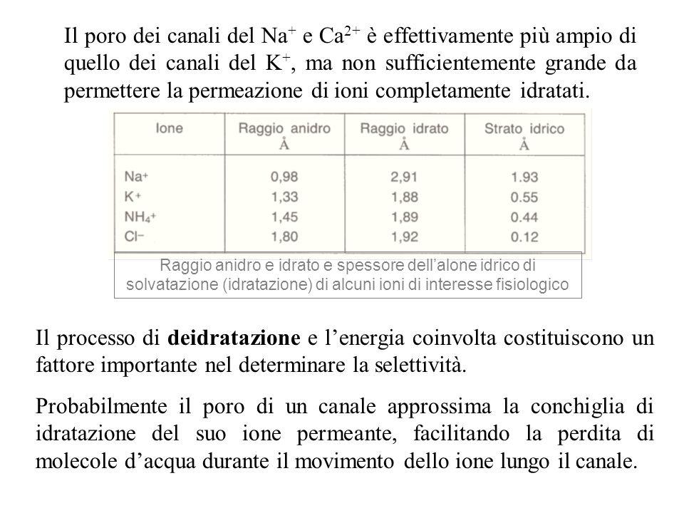 Il poro dei canali del Na+ e Ca2+ è effettivamente più ampio di quello dei canali del K+, ma non sufficientemente grande da permettere la permeazione di ioni completamente idratati.