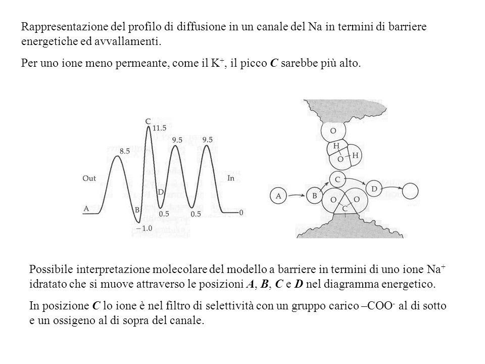Rappresentazione del profilo di diffusione in un canale del Na in termini di barriere energetiche ed avvallamenti.