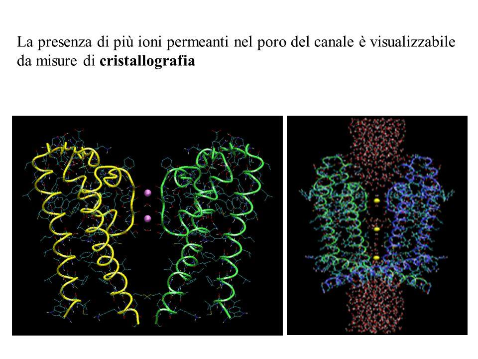La presenza di più ioni permeanti nel poro del canale è visualizzabile da misure di cristallografia