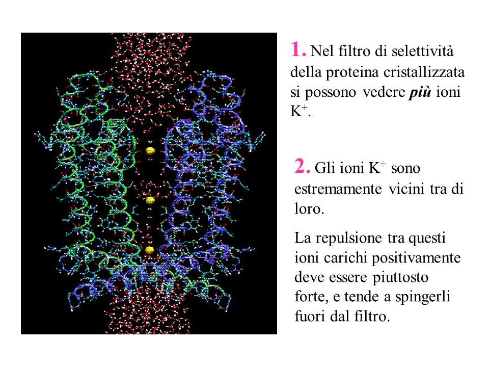 2. Gli ioni K+ sono estremamente vicini tra di loro.