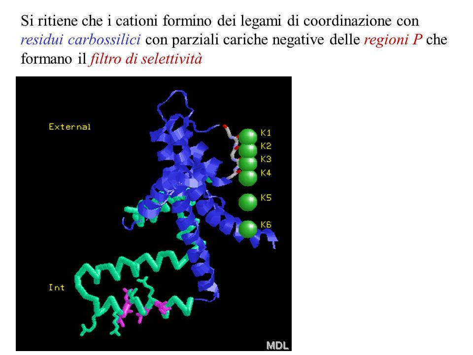 Si ritiene che i cationi formino dei legami di coordinazione con residui carbossilici con parziali cariche negative delle regioni P che formano il filtro di selettività
