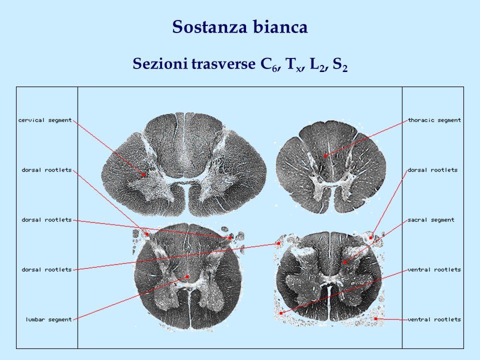 Sostanza bianca Sezioni trasverse C6, Tx, L2, S2