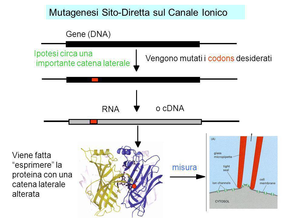 Mutagenesi Sito-Diretta sul Canale Ionico