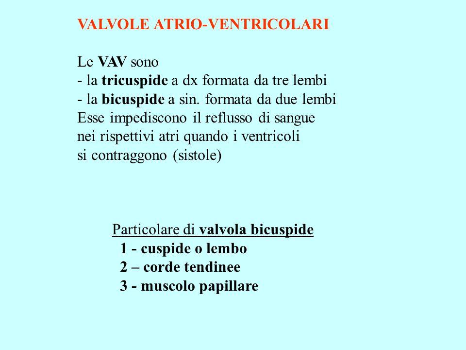 VALVOLE ATRIO-VENTRICOLARI