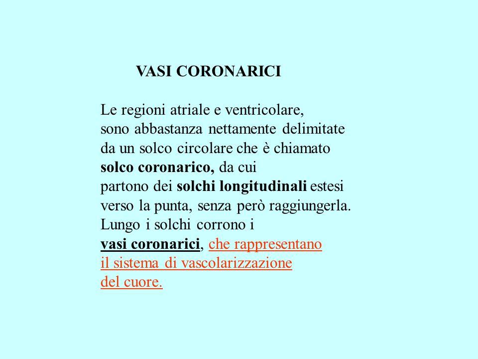 VASI CORONARICI Le regioni atriale e ventricolare, sono abbastanza nettamente delimitate. da un solco circolare che è chiamato.