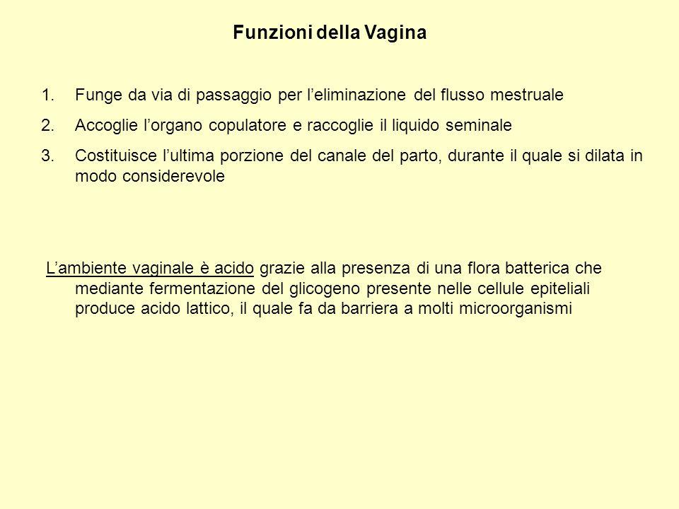 Funzioni della Vagina Funge da via di passaggio per l'eliminazione del flusso mestruale.