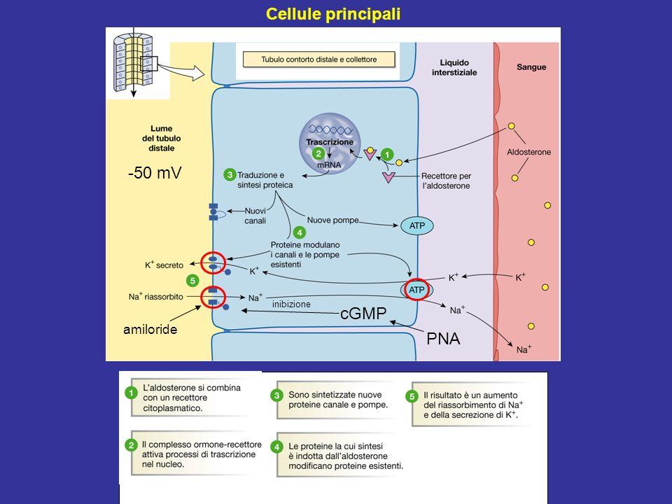 Cellule principali -50 mV inibizione cGMP amiloride PNA