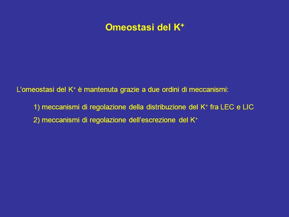 Omeostasi del K+ L'omeostasi del K+ è mantenuta grazie a due ordini di meccanismi: