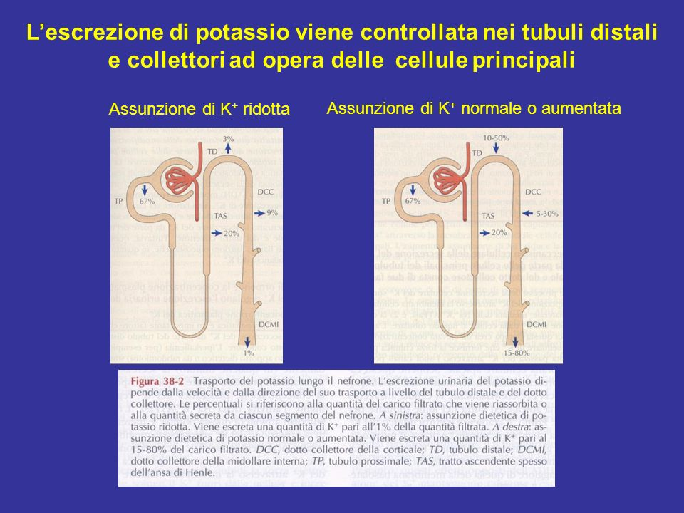 L'escrezione di potassio viene controllata nei tubuli distali e collettori ad opera delle cellule principali