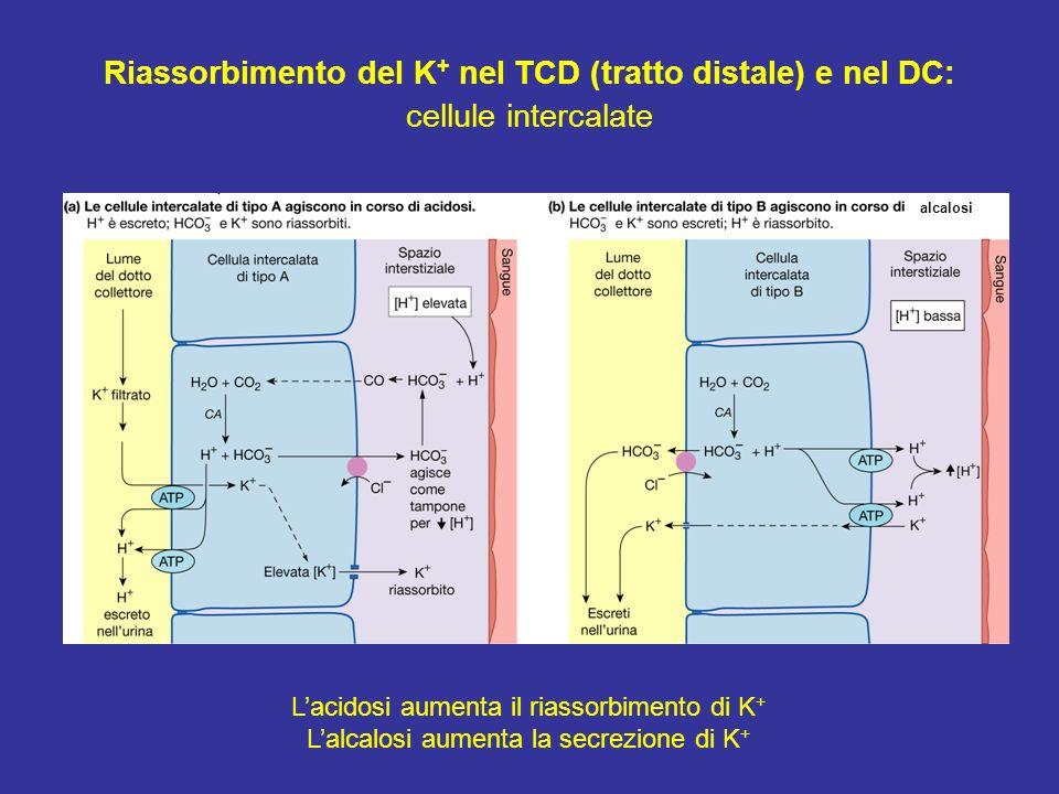 Riassorbimento del K+ nel TCD (tratto distale) e nel DC: