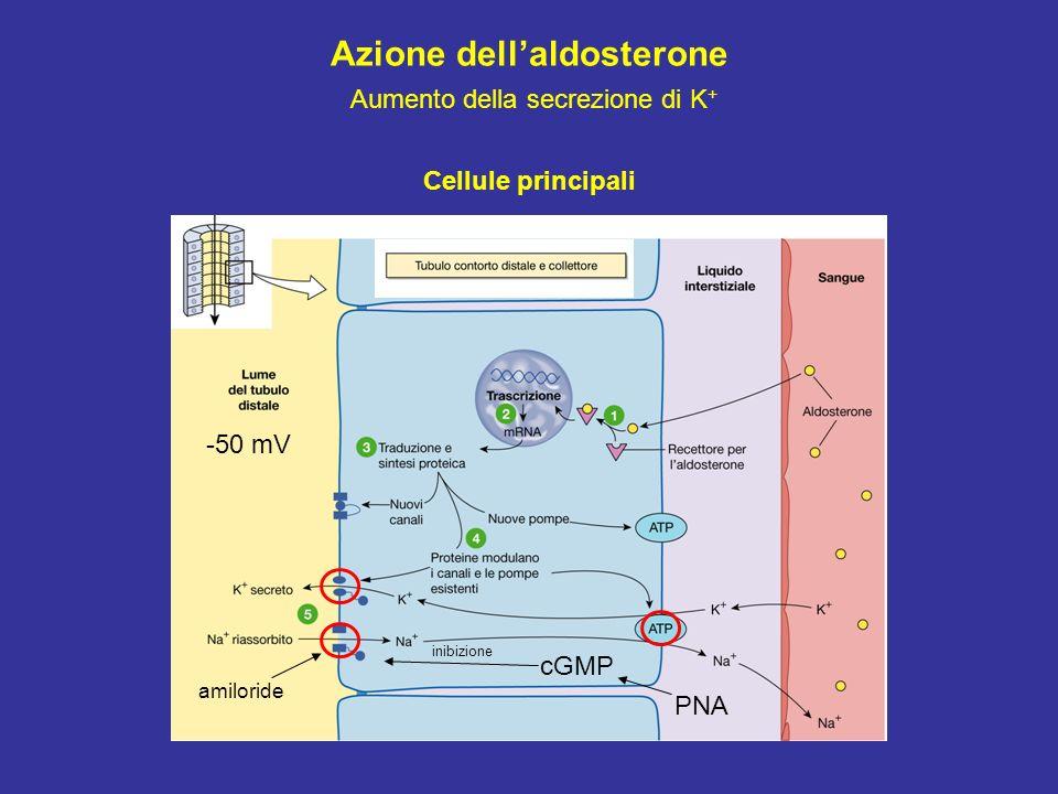 Azione dell'aldosterone