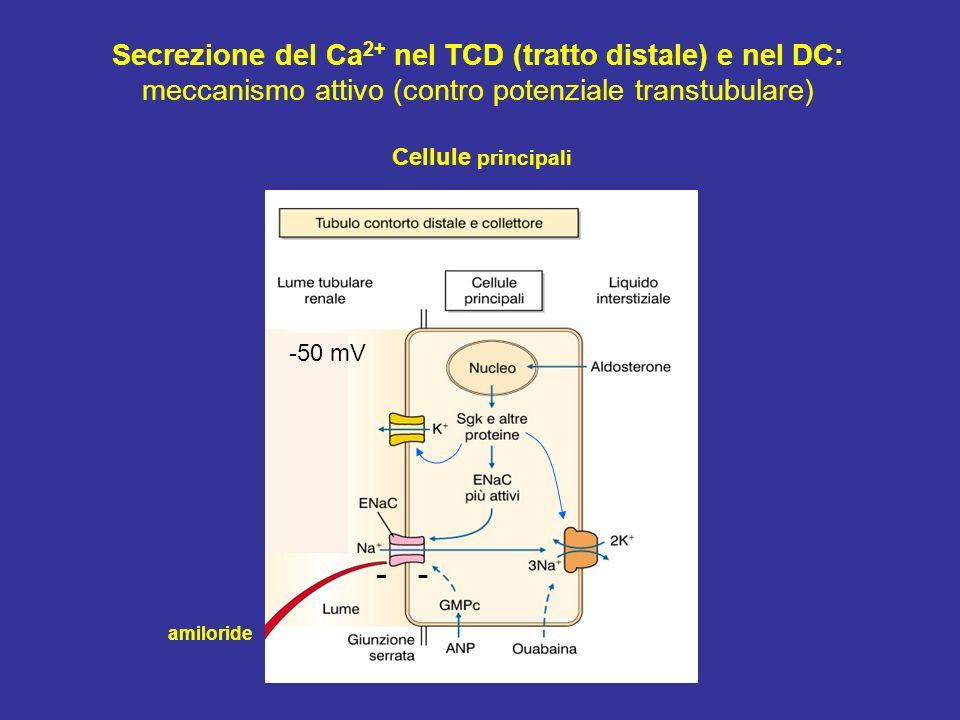 Secrezione del Ca2+ nel TCD (tratto distale) e nel DC:
