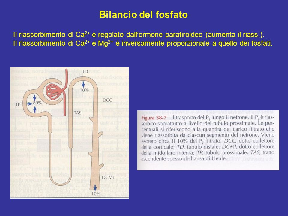 Bilancio del fosfato Il riassorbimento dl Ca2+ è regolato dall'ormone paratiroideo (aumenta il riass.).