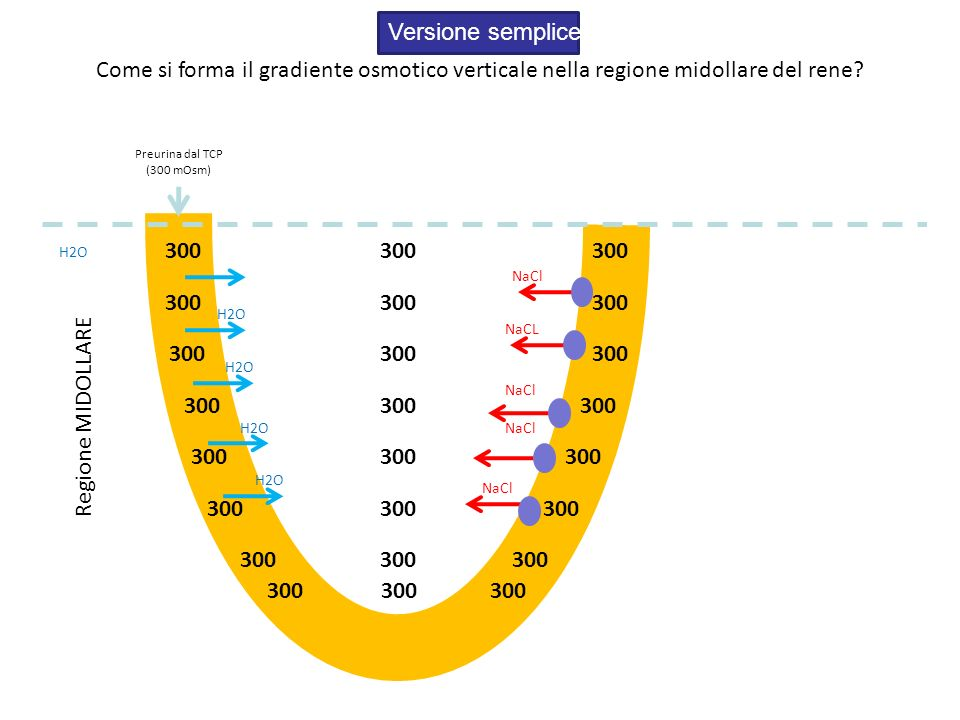 Versione semplice Come si forma il gradiente osmotico verticale nella regione midollare del rene Preurina dal TCP.