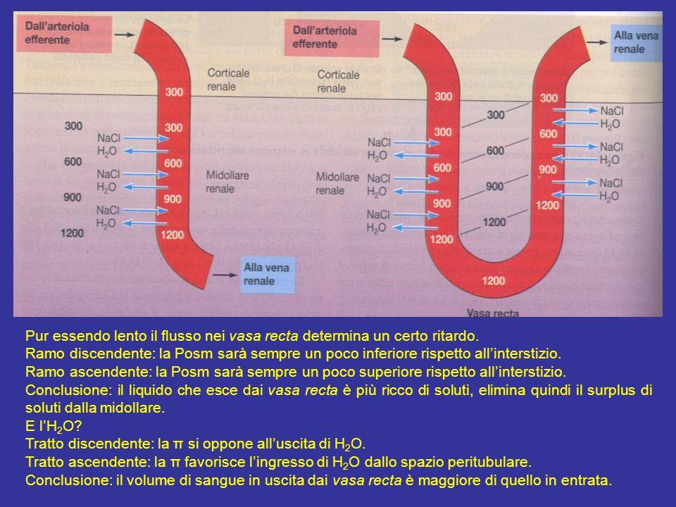 Per spiegazione vasa recta casella pg 683