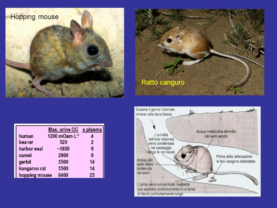 Hopping mouse Ratto canguro