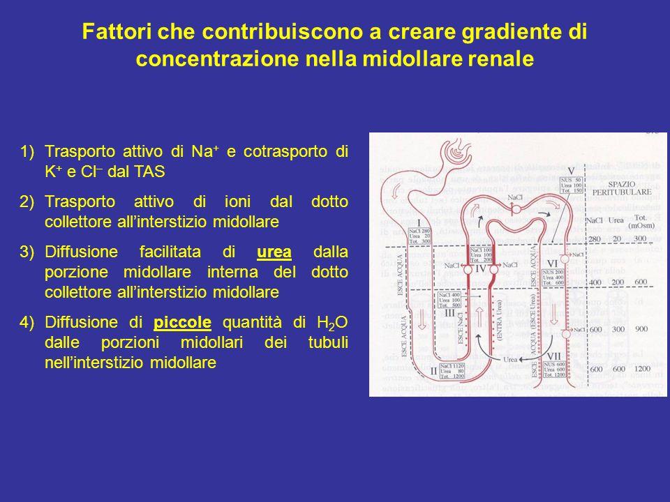 Fattori che contribuiscono a creare gradiente di concentrazione nella midollare renale