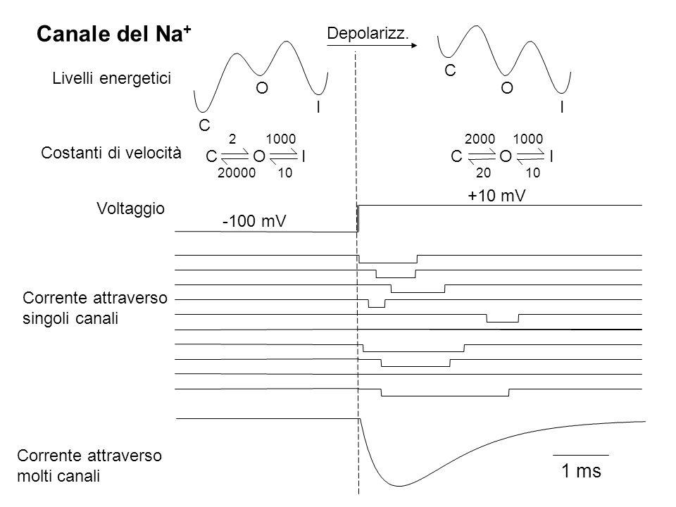 Canale del Na+ 1 ms Depolarizz. C Livelli energetici O O I I C