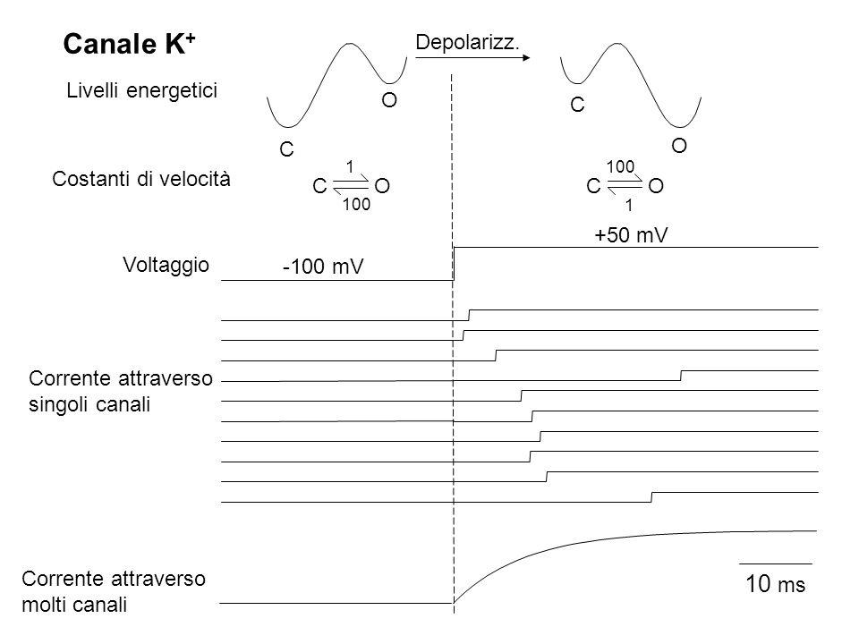 Canale K+ 10 ms Depolarizz. Livelli energetici O C C O