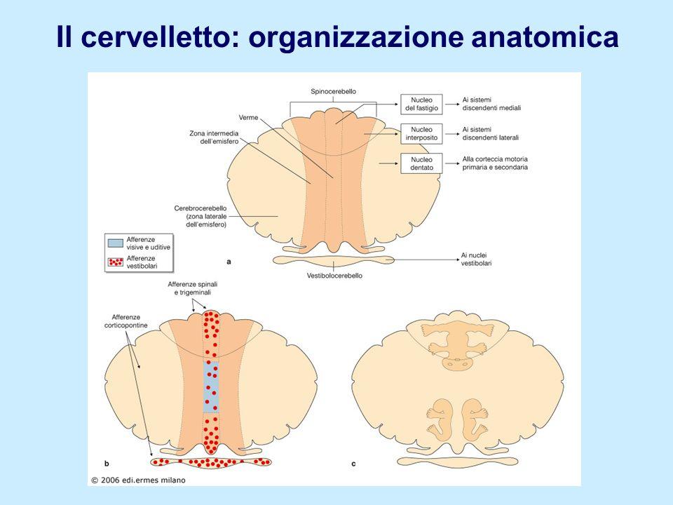 Il cervelletto: organizzazione anatomica