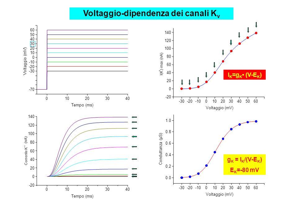 Voltaggio-dipendenza dei canali Kv