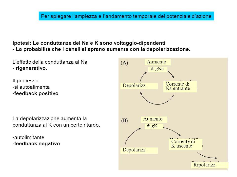 Ipotesi: Le conduttanze del Na e K sono voltaggio-dipendenti