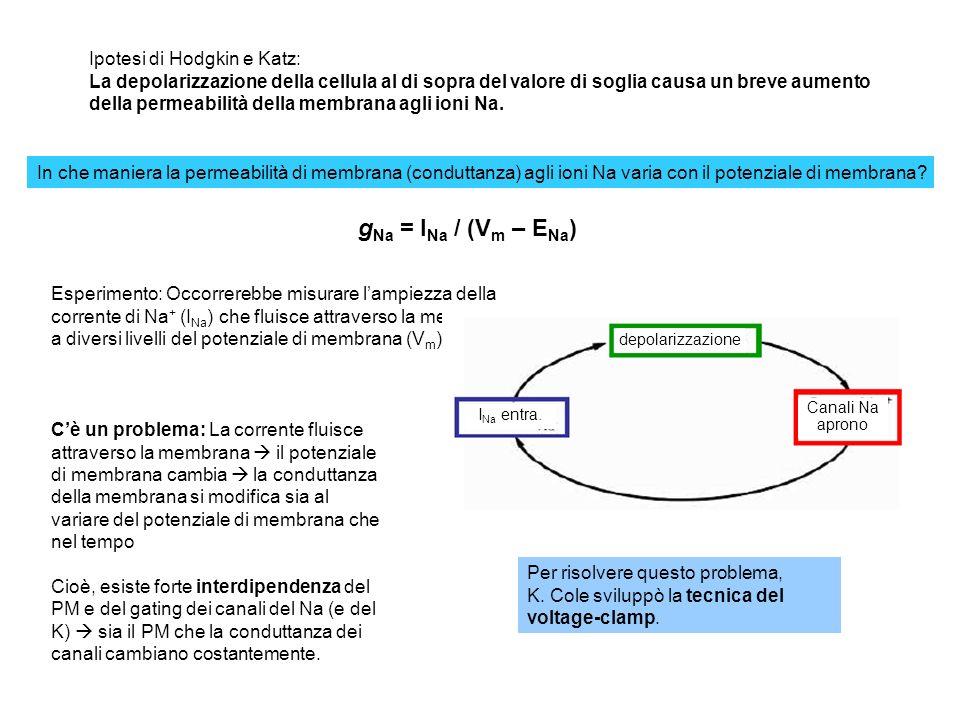gNa = INa / (Vm – ENa) Ipotesi di Hodgkin e Katz: