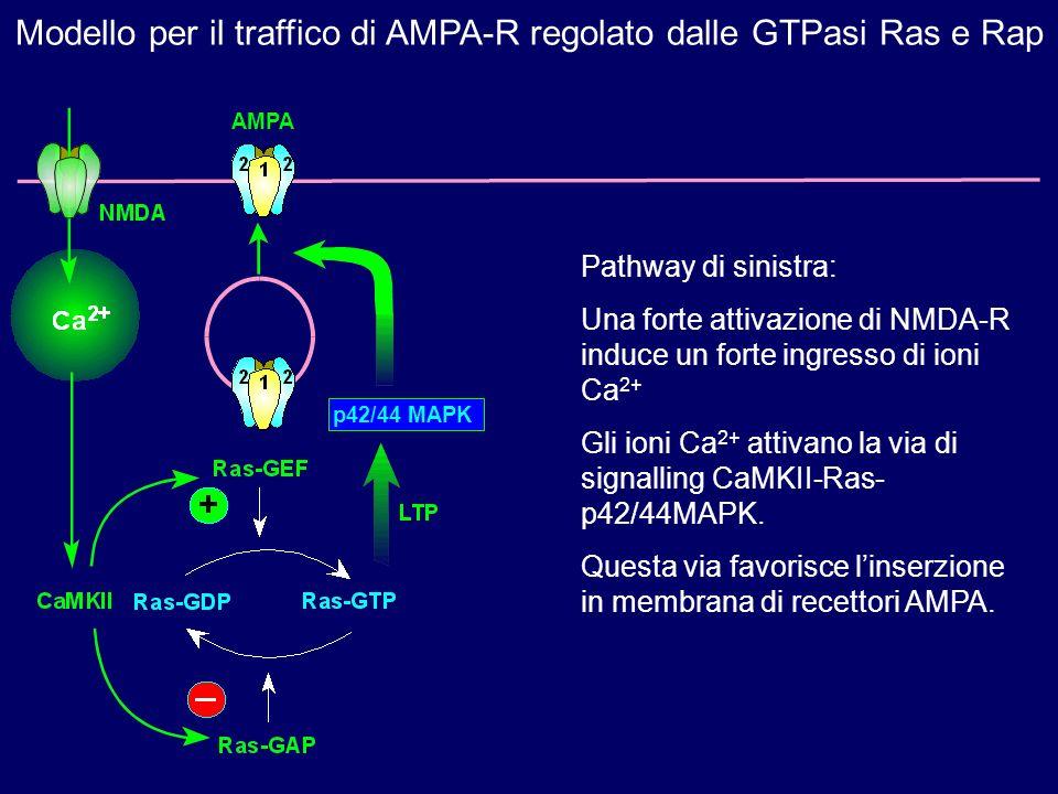 Modello per il traffico di AMPA-R regolato dalle GTPasi Ras e Rap