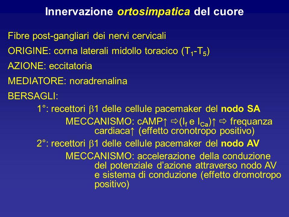 Innervazione ortosimpatica del cuore
