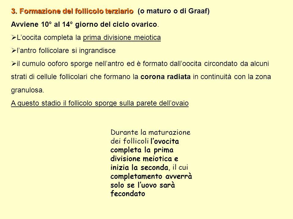 3. Formazione del follicolo terziario (o maturo o di Graaf)