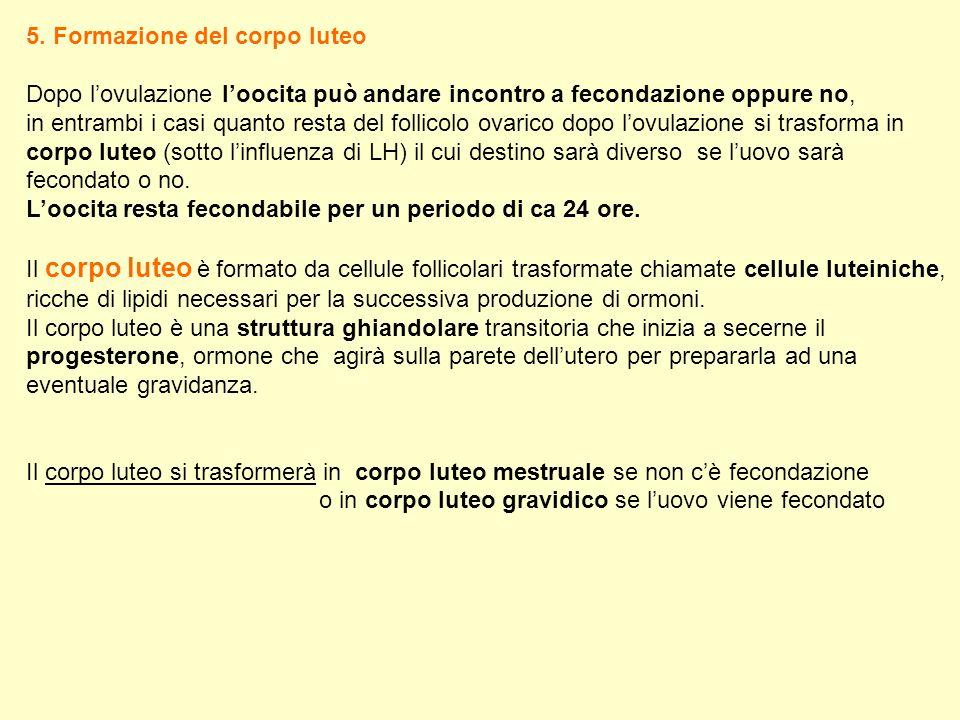 5. Formazione del corpo luteo