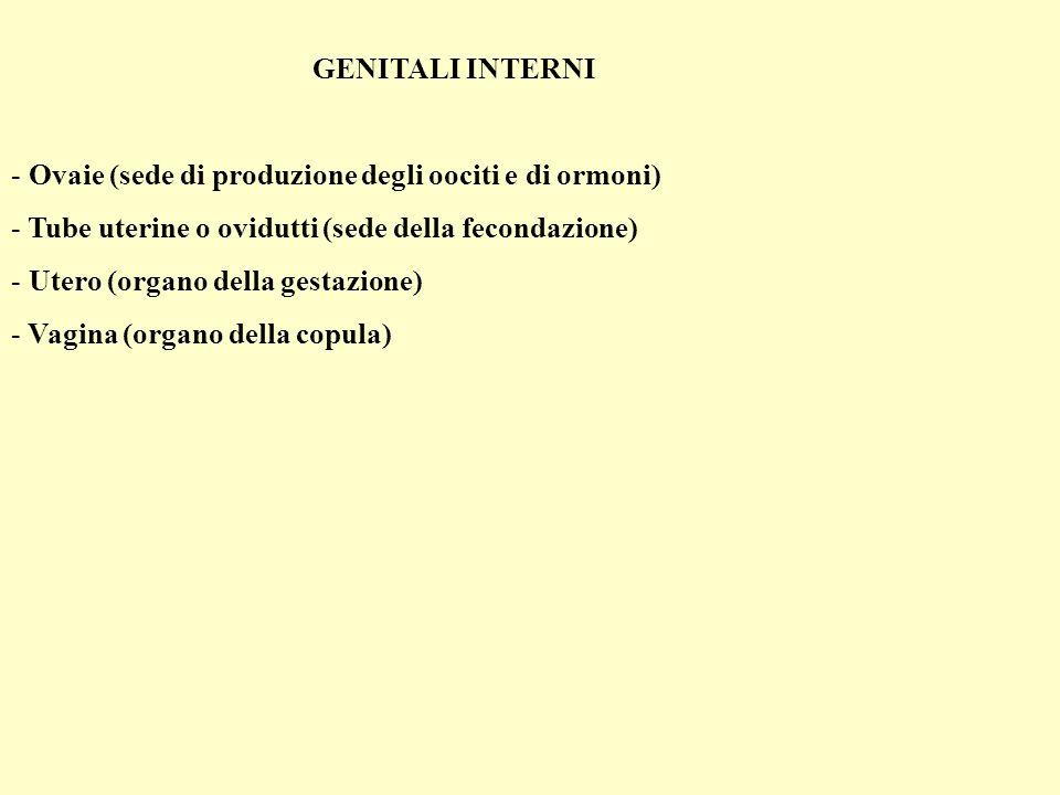 GENITALI INTERNI Ovaie (sede di produzione degli oociti e di ormoni) Tube uterine o ovidutti (sede della fecondazione)