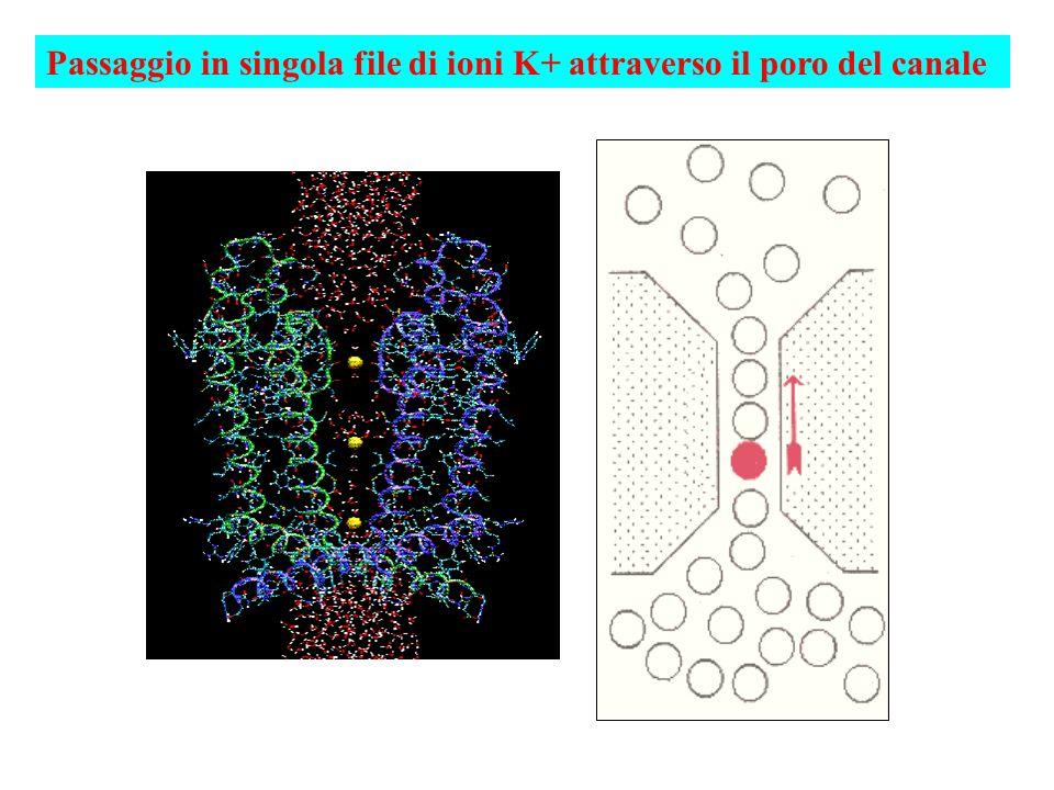 Passaggio in singola file di ioni K+ attraverso il poro del canale