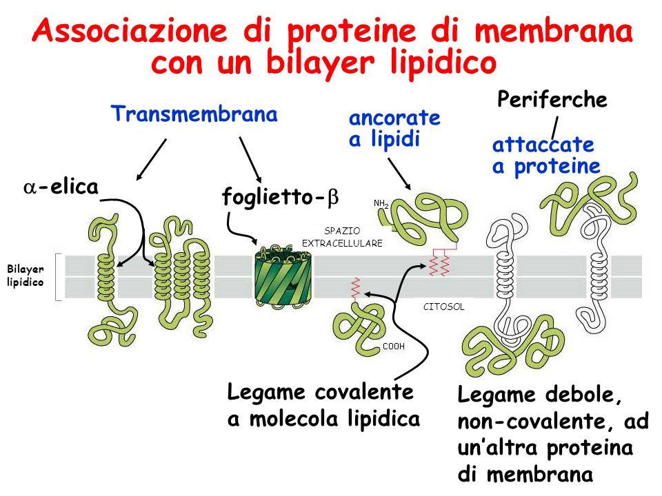 Associazione di proteine di membrana con un bilayer lipidico