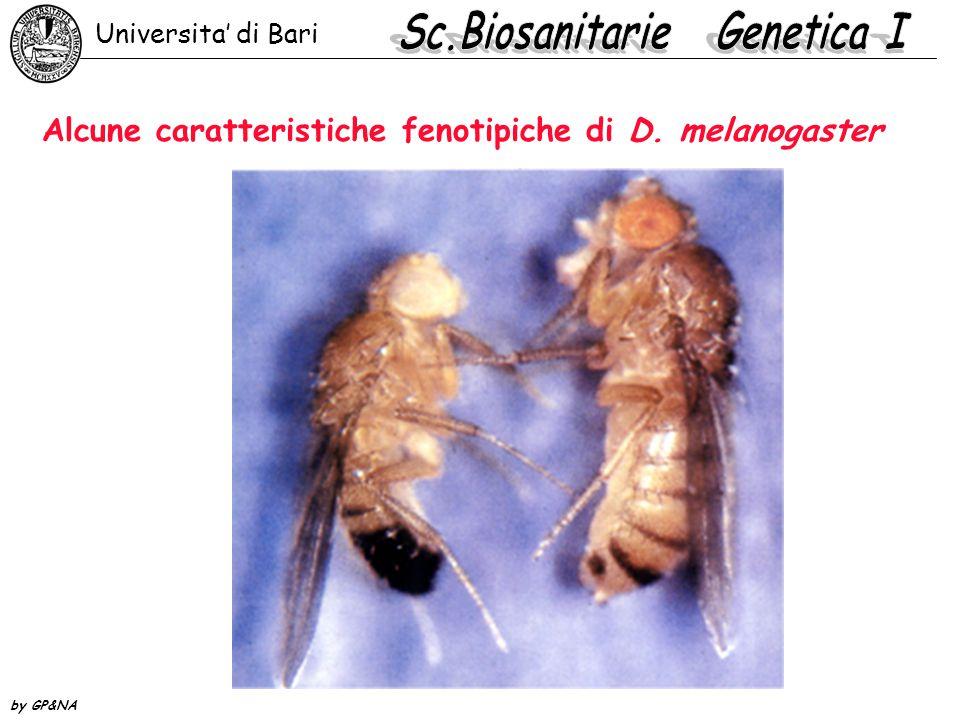 Alcune caratteristiche fenotipiche di D. melanogaster