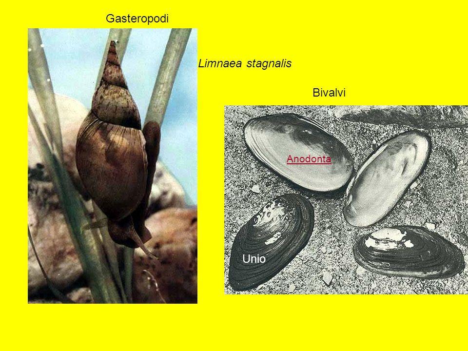 Gasteropodi Limnaea stagnalis Bivalvi Anodonta Unio