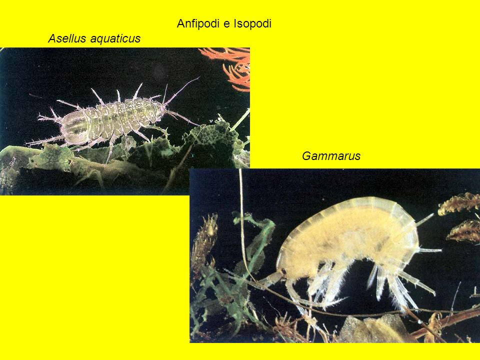 Anfipodi e Isopodi Asellus aquaticus Gammarus