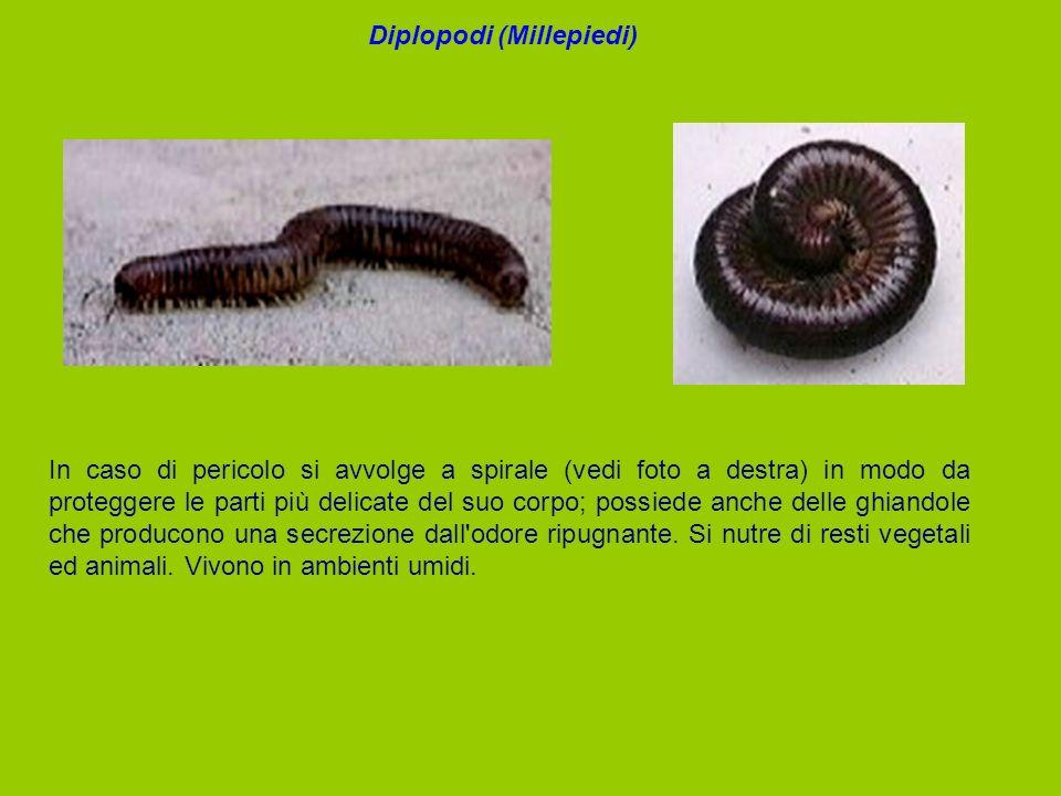 Diplopodi (Millepiedi)