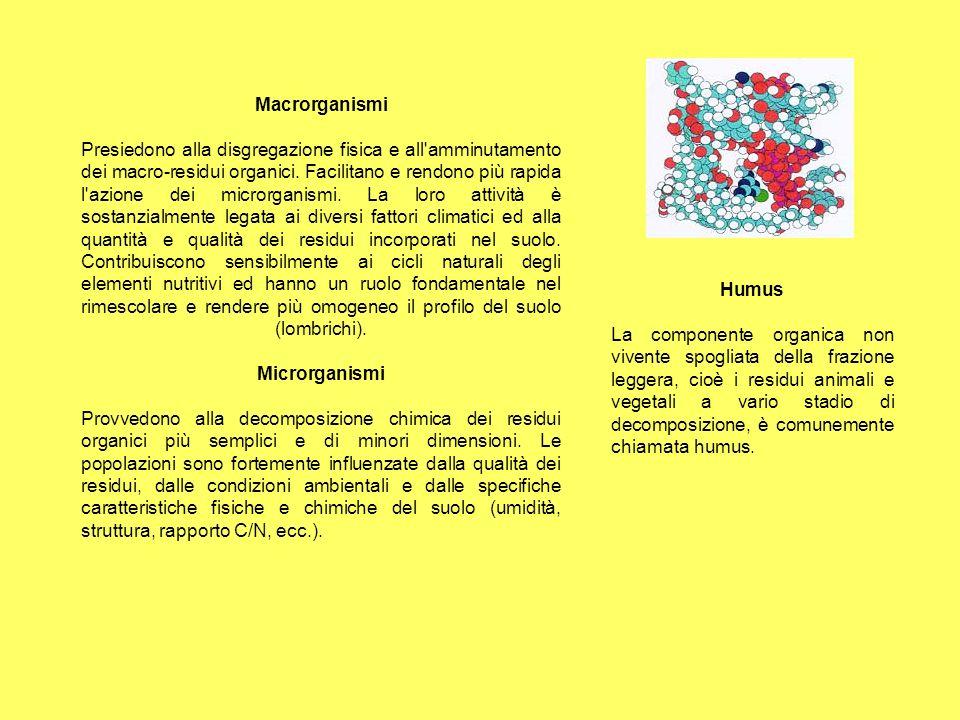 Macrorganismi Presiedono alla disgregazione fisica e all amminutamento dei macro-residui organici. Facilitano e rendono più rapida l azione dei microrganismi. La loro attività è sostanzialmente legata ai diversi fattori climatici ed alla quantità e qualità dei residui incorporati nel suolo. Contribuiscono sensibilmente ai cicli naturali degli elementi nutritivi ed hanno un ruolo fondamentale nel rimescolare e rendere più omogeneo il profilo del suolo (lombrichi). Microrganismi Provvedono alla decomposizione chimica dei residui organici più semplici e di minori dimensioni. Le popolazioni sono fortemente influenzate dalla qualità dei residui, dalle condizioni ambientali e dalle specifiche caratteristiche fisiche e chimiche del suolo (umidità, struttura, rapporto C/N, ecc.).