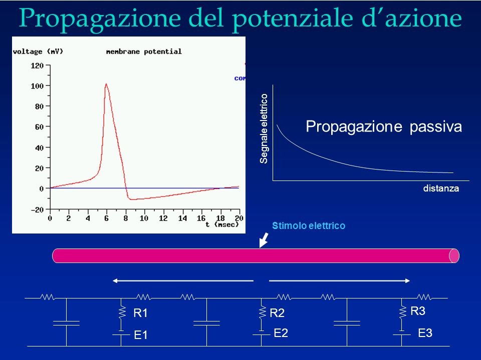 Propagazione del potenziale d ' azione Propagazione passiva E1 R1 R2