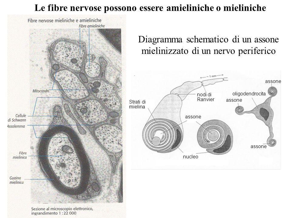 Diagramma schematico di un assone mielinizzato di un nervo periferico