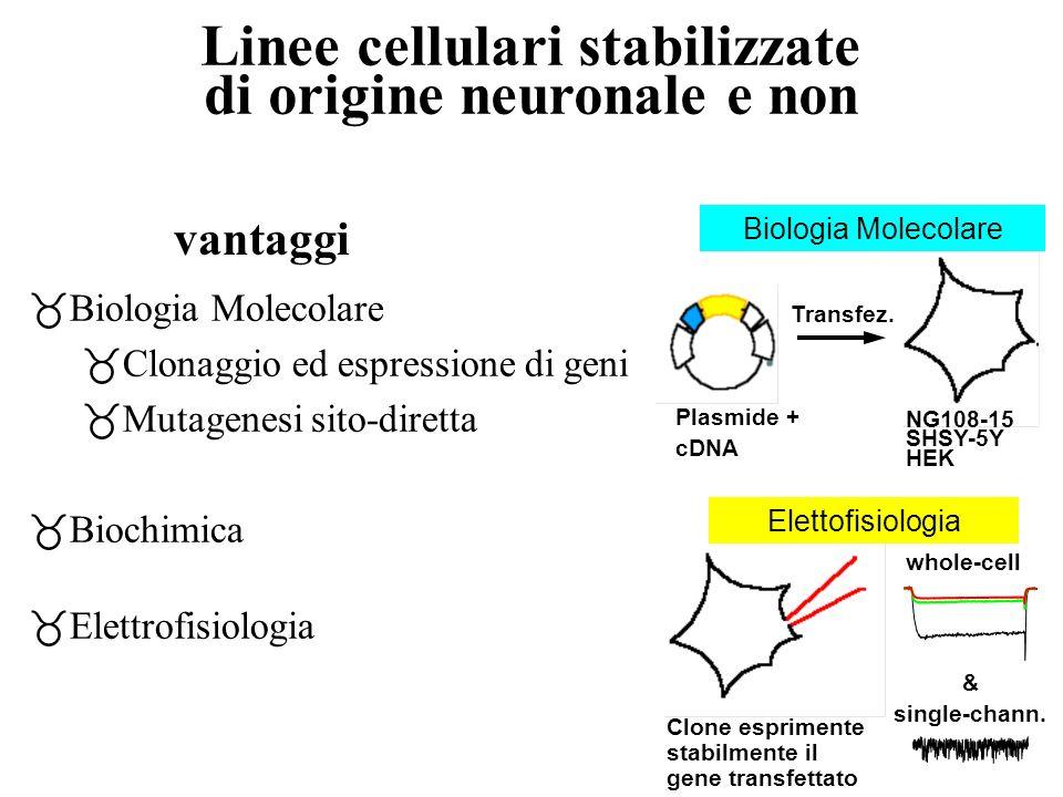 Linee cellulari stabilizzate di origine neuronale e non