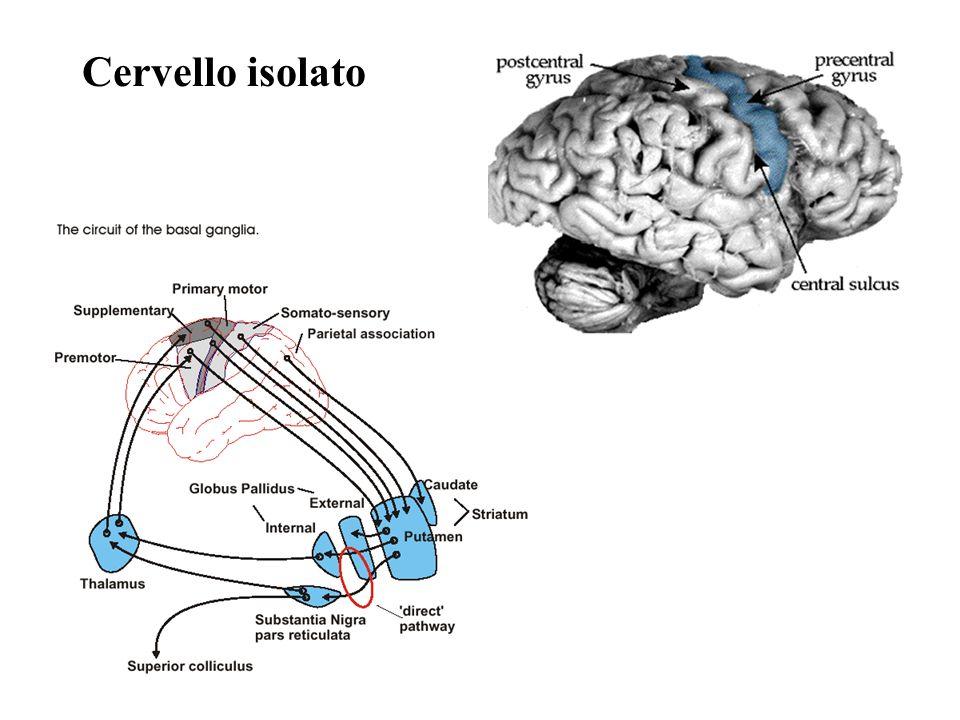 Cervello isolato