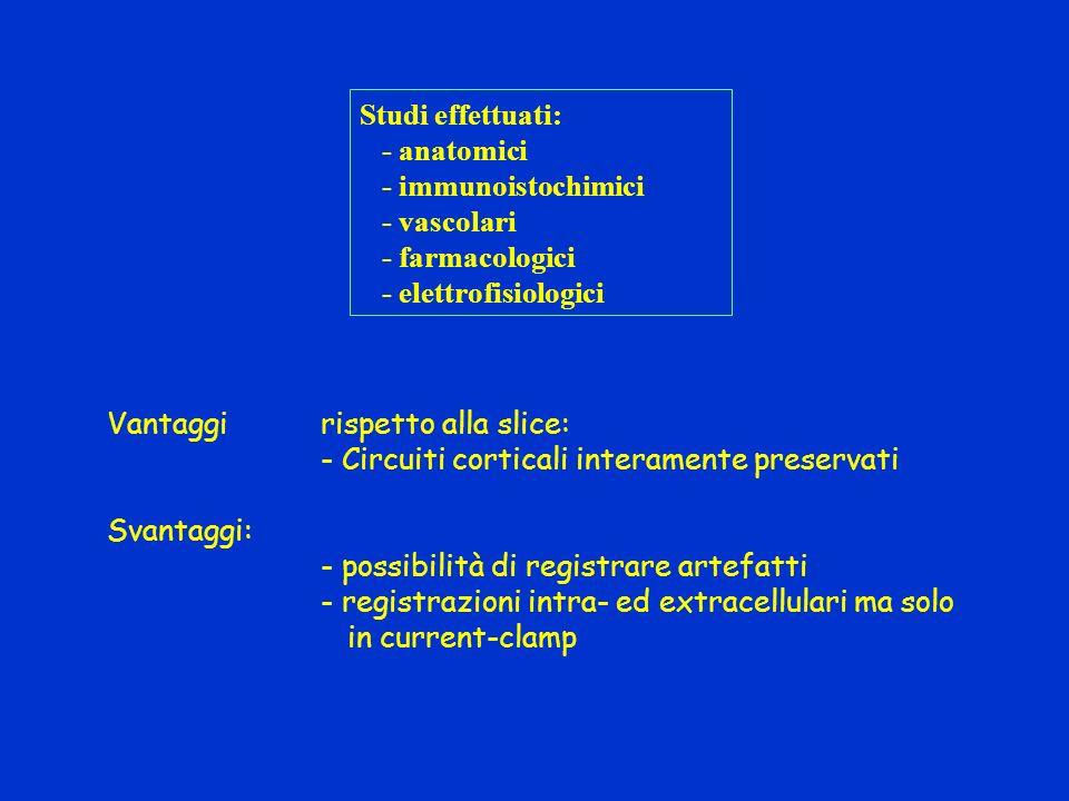 Studi effettuati: - anatomici. - immunoistochimici. - vascolari. - farmacologici. - elettrofisiologici.