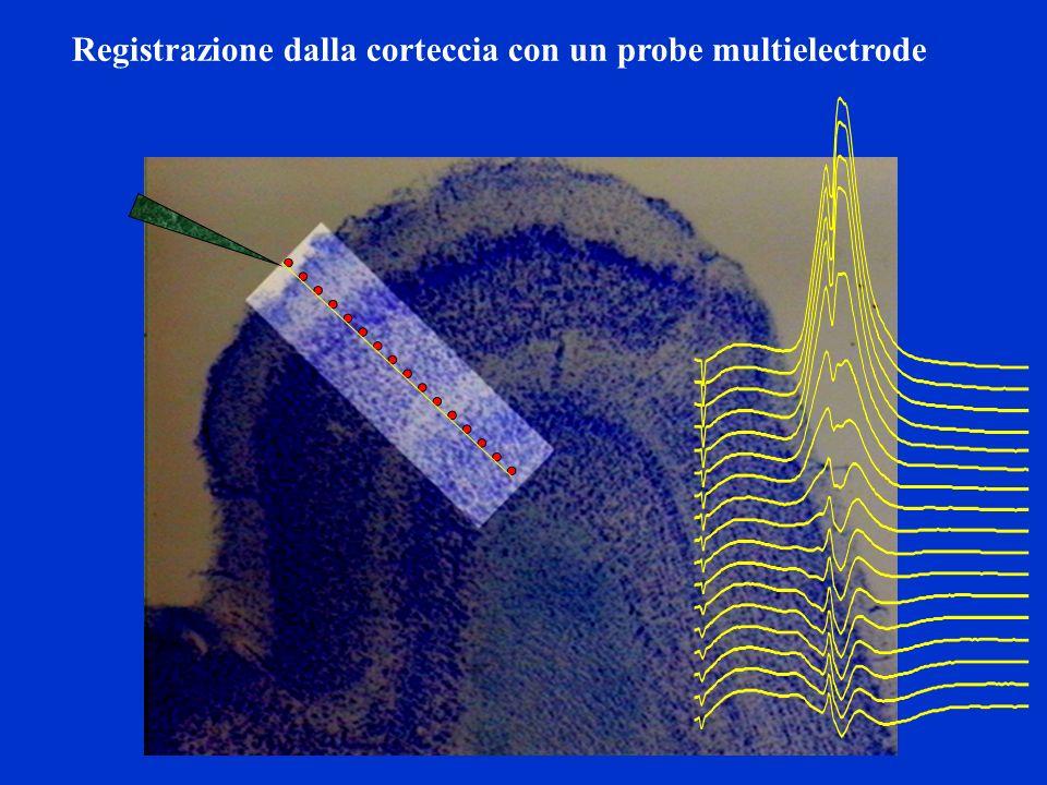 Registrazione dalla corteccia con un probe multielectrode